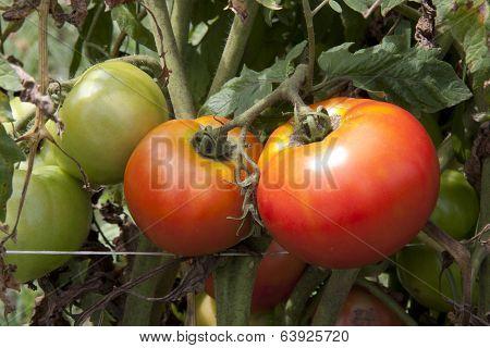 Heirloom Tomatoes Growing