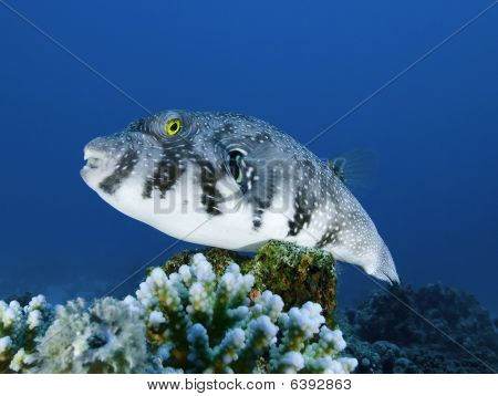 Whitespotted Pufferfish