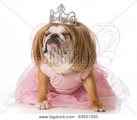 spoiled dog - english bulldog wearing princess costume
