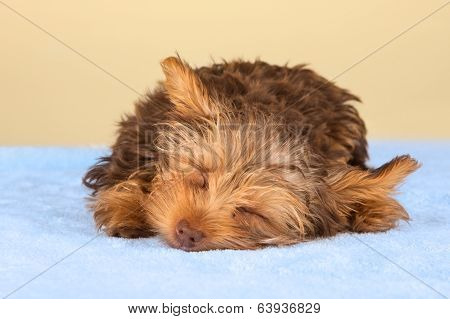 Yorkshire Terrier Puppy Standing In Studio Looking Inquisitive Blue Bed