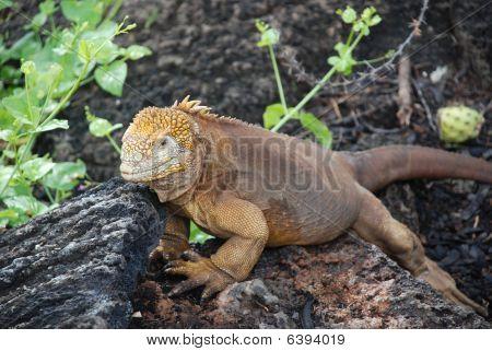 Land_iguana
