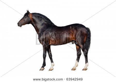 Dark bay horse isolated on white background.