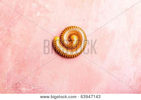 Millipede In Nature