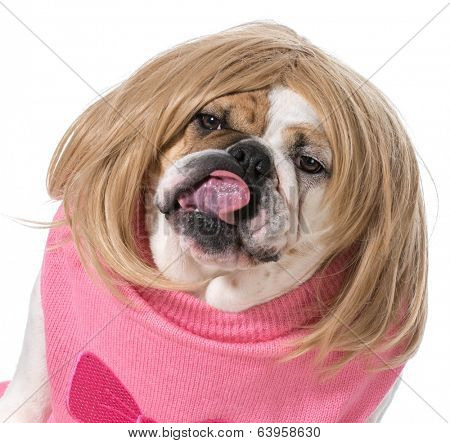 female bulldog wearing wig and licking lips