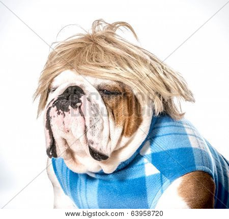 english bulldog wearing blue coat and blonde wig