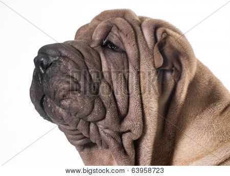 chinese shar pei head portrait isolated on white background