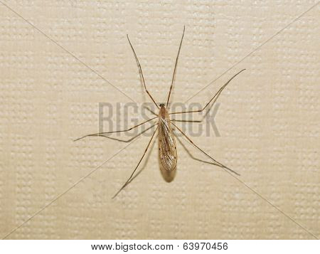 Gnat Insect