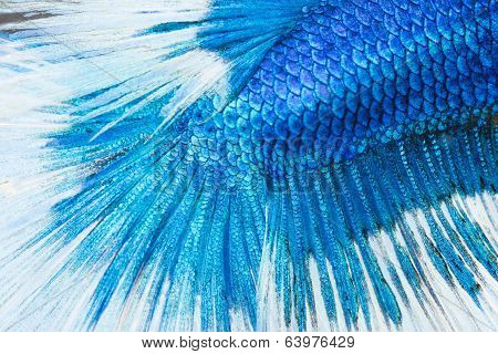 Betta, Siamese Fighting Fish Skine Texture