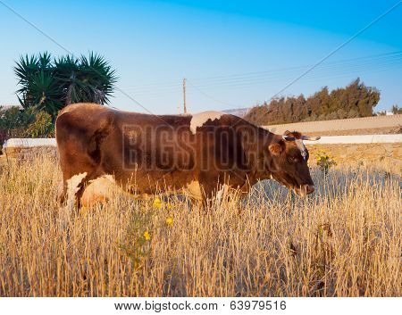 Brown Cow On A Field With Grass At Sunset.