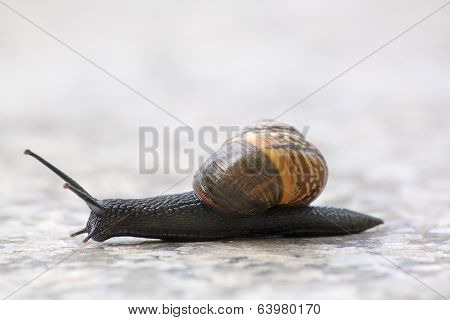 Black snail on the move
