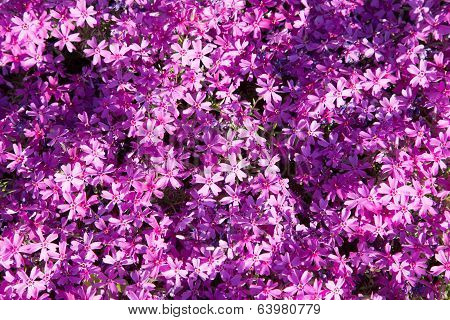 Background Of Violet Flowers