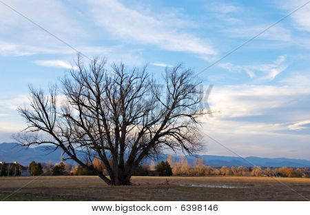 Large Cottonwood In A Field In Winter