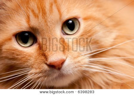 Adorable Orange Kitty Cat Posing For The Camera
