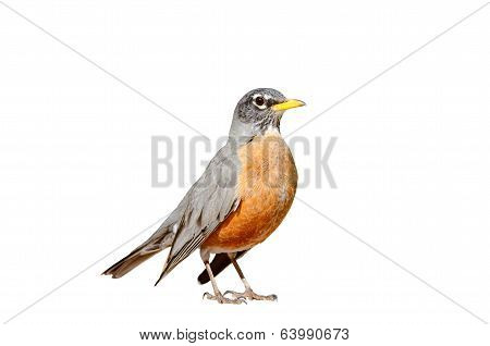 American Robin Isolated