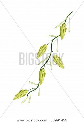 A Fresh Cardamom Plant On White Background