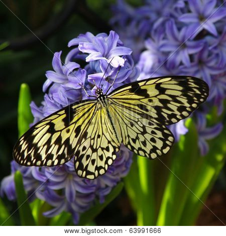 Idea leuconoe butterfly also named paper kite, rice paper or large tree nymph   on a hyacinth flowers