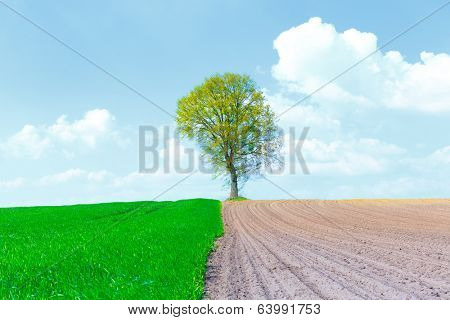 Tree on the border of wheat and an empty field