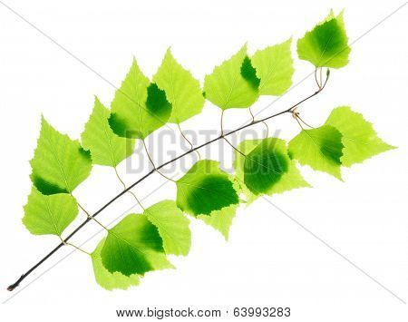 Birch twig with green leaves isolated