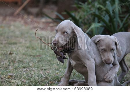 Weimaraner Puppy Playing