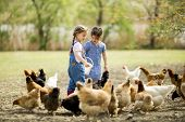 stock photo of child feeding  - Two little girls feeding chickens at farm - JPG