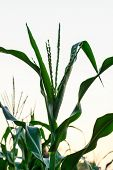 picture of zea  - Inflorescence at corn plantation with the sky - JPG