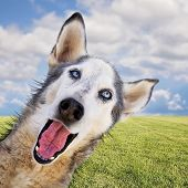 picture of spayed  -  a cute husky at a local park  - JPG