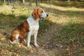 picture of foxhound  - Dog hound resting on fallen leaves in the autumn forest - JPG
