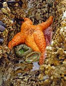 stock photo of echinoderms  - Orange starfish  - JPG