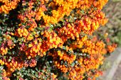 picture of barberry  - Berberis or barberry bush with orange flowers and spiked glossy green leaves - JPG