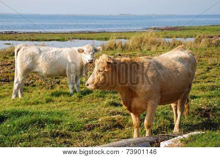 Cattle At Pastureland