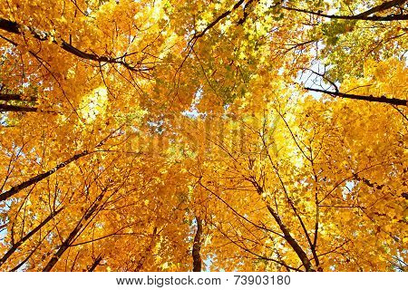 Bright Yellow Maple Crown Tops In Autumn