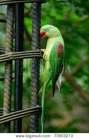Female Alexandrine Parakeet (psittacula Eupatria)
