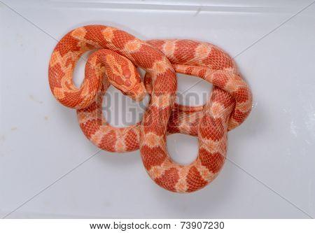 Amelanistic Hatchling Corn Snake(pantherophis Guttatus)