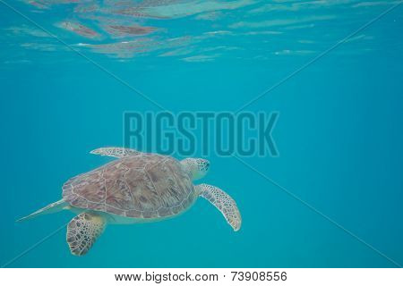 Green Sea Turtle Reflecting In The Surface Water