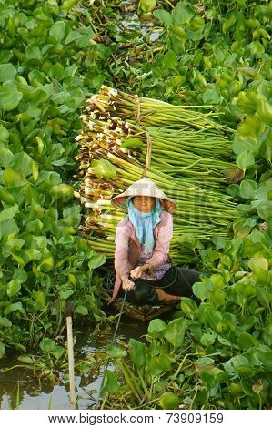 Asian Farmer Harvest Water Hyacith
