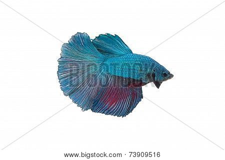 Siamese Fighting Fish Isolated On White Background..