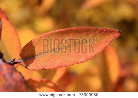 Autumn colors. Orange leaf of honeysuckle