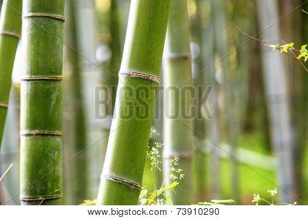 The Bamboo Grove In Arashiyama