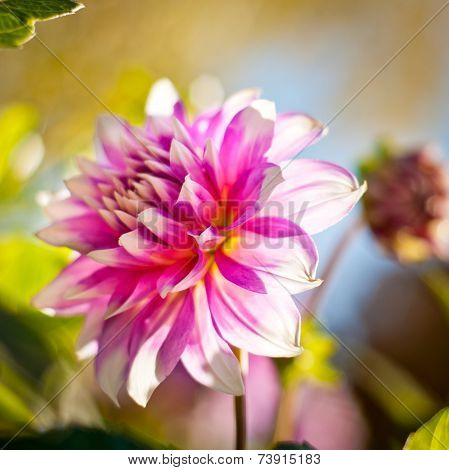 Dahlia Flower Background. Autumn Flower.