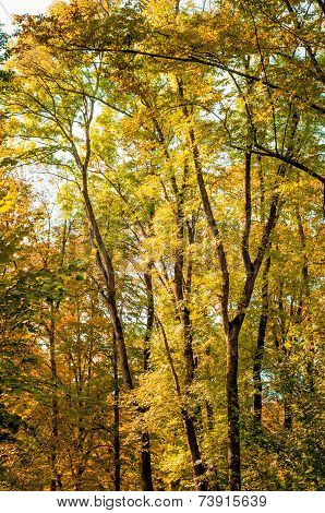 Forest Trees In Autumn Background