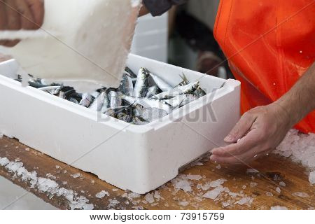 Fishermen prepare sardines for transportation