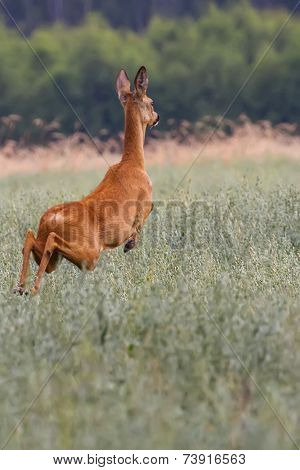 Roe-deer on the run in the wild
