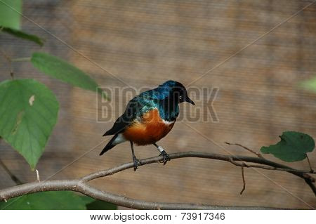 Superb Starling (Spreo superbus)