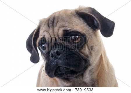 Pug Dog Head Closeup