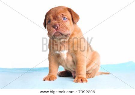 Blue-eyed Cute Puppy