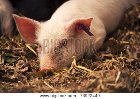 Young Pig.