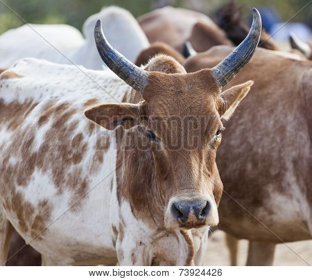 Brahman (or Zebu) Bulls Get Prepared For Bull Jumping Ceremony. Omo Valley, Ethiopia.