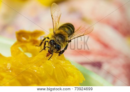 Bee Gathering Honey And Nectar With Proboscis.