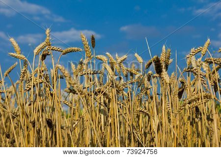 Wheat Field Against The Blue Sky.