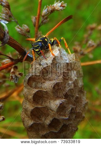 Wasp on a nest watching the viewer